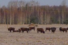 bisonti bialowieza