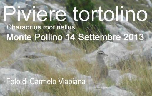 Piviere Tortolino