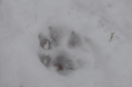 impronta di lupo