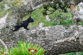 scoiattolo nero meridionale